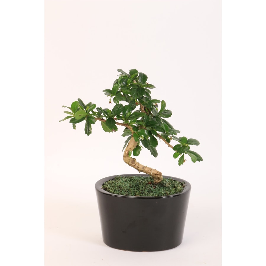 2.3 Quart(S) Fukien Tea Bonsai Planter