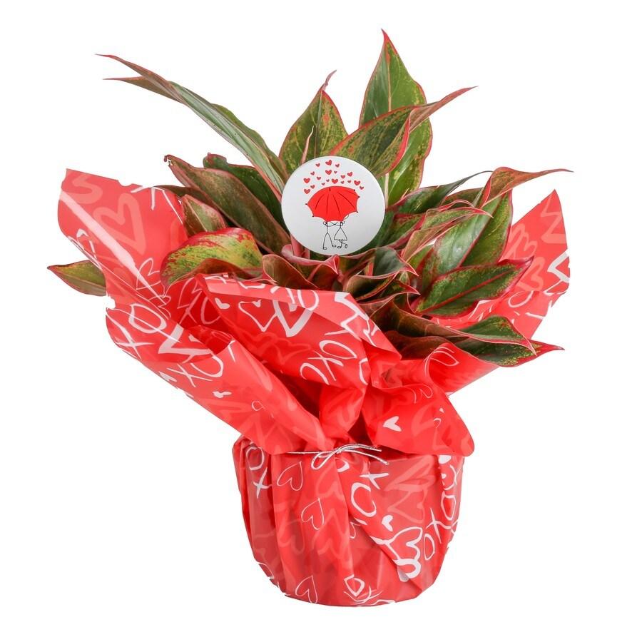 .4 Quart(S) Aglaonema Siam Red Planter