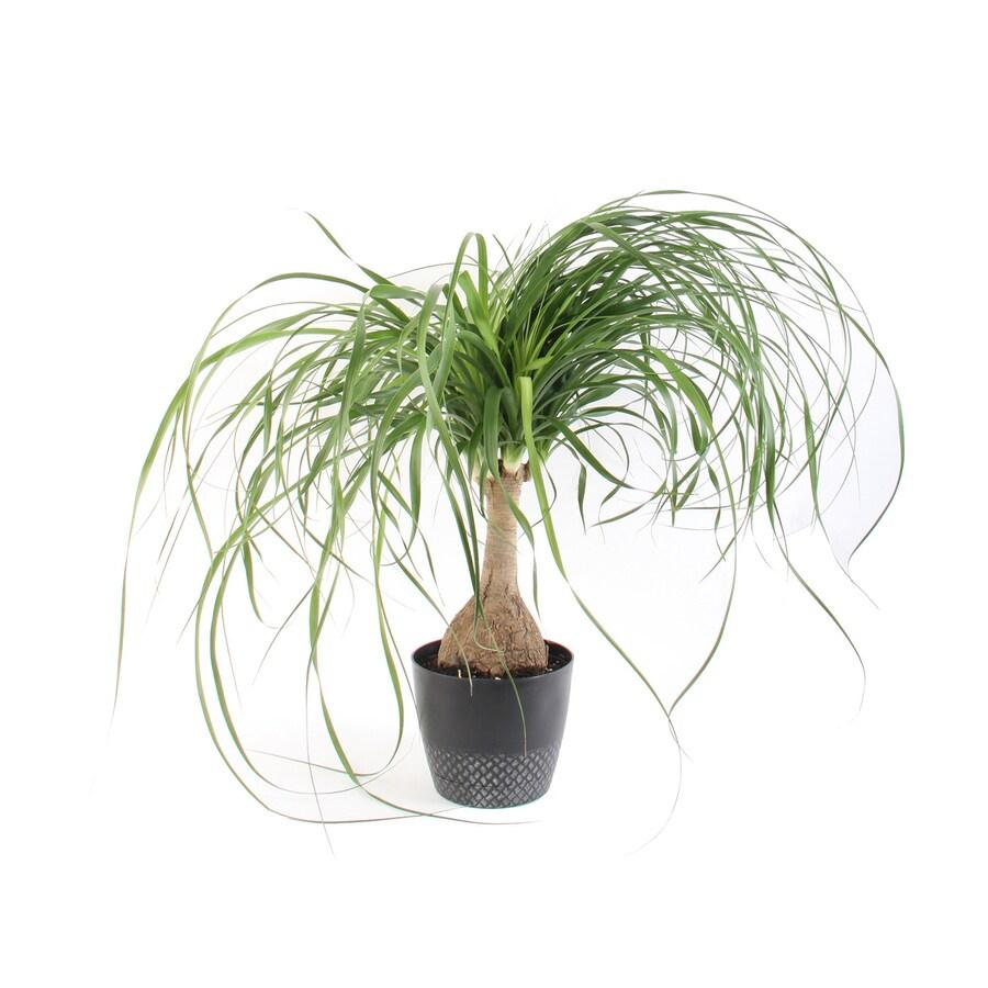 Costa Farms 1 4 Quart Ponytail Palm In Plastic Planter At