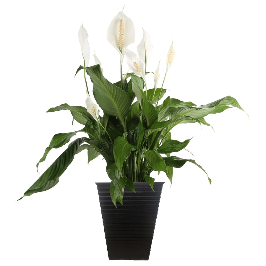 Shop Costa Farms 2 Gallon Peace Lily Planter At Lowes