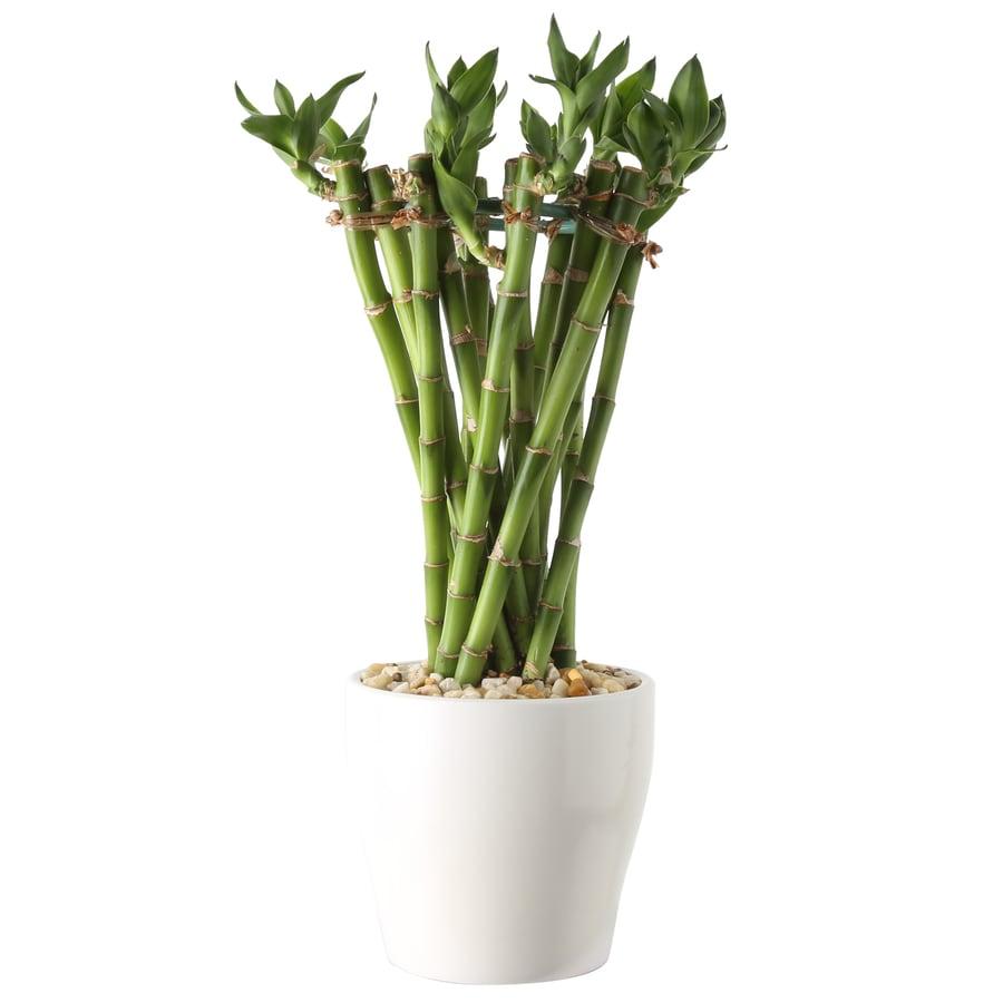 4.2-oz Lucky Bamboo Planter