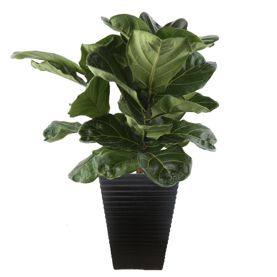 Shop plants bulbs seeds at lowes costa farms 2 gallon fiddleleaf fig in plastic planter izmirmasajfo