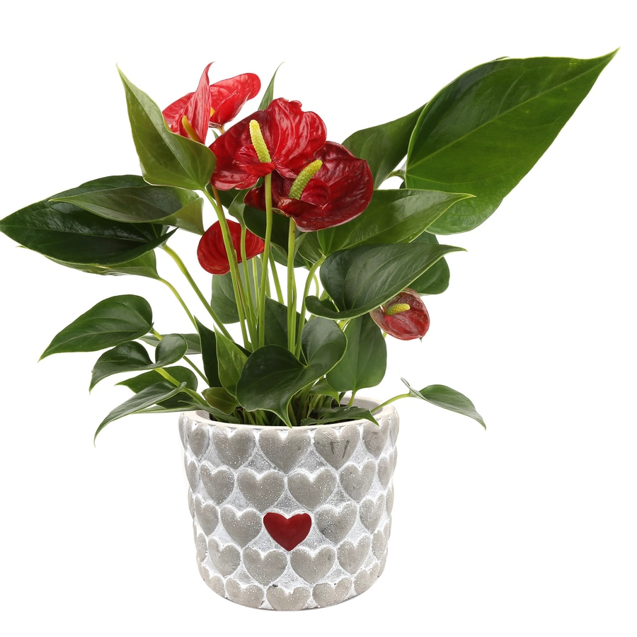 2.2 Quart(S) Anthurium Planter