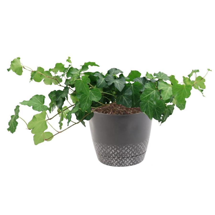 Costa Farms 1 34 Quart English Ivy In Plastic Planter