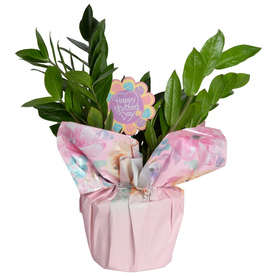 Costa farms 1 34 quart zz plant in plastic planter