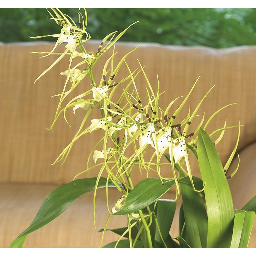 1.75-Quart Oncidium Orchid (L20961HP)