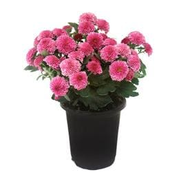 Shop annuals at lowes 1 pint pot pink garden mum lw00832 mightylinksfo