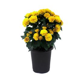 1-Quart Pot Yellow Mum (L5581)