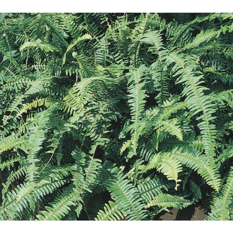 2-Gallon Kimberley Queen Fern (LTL0052)