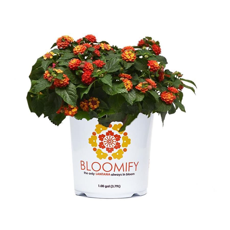 1 Gallon Multicolor Lantana In Pot At Lowescom
