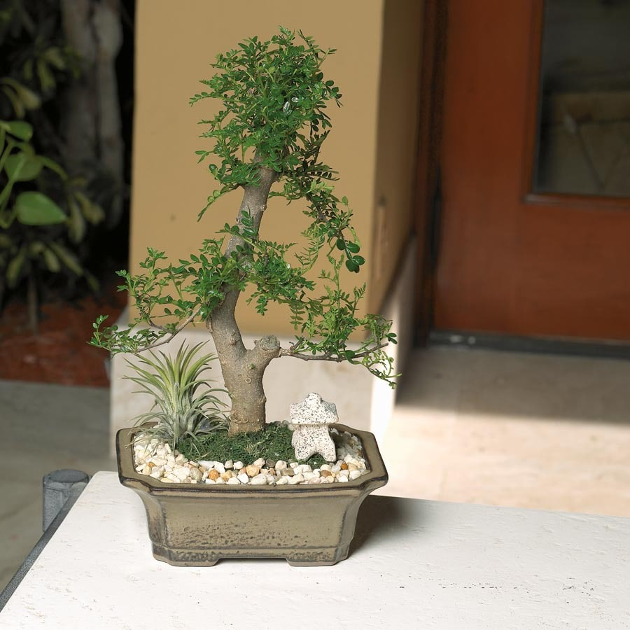 1-Count Bonsai (L20919HP)