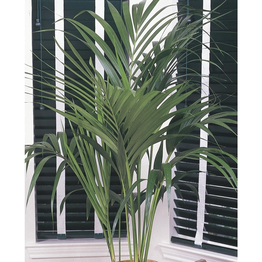 2.33-Gallon Kentia Palm (L9408HP)