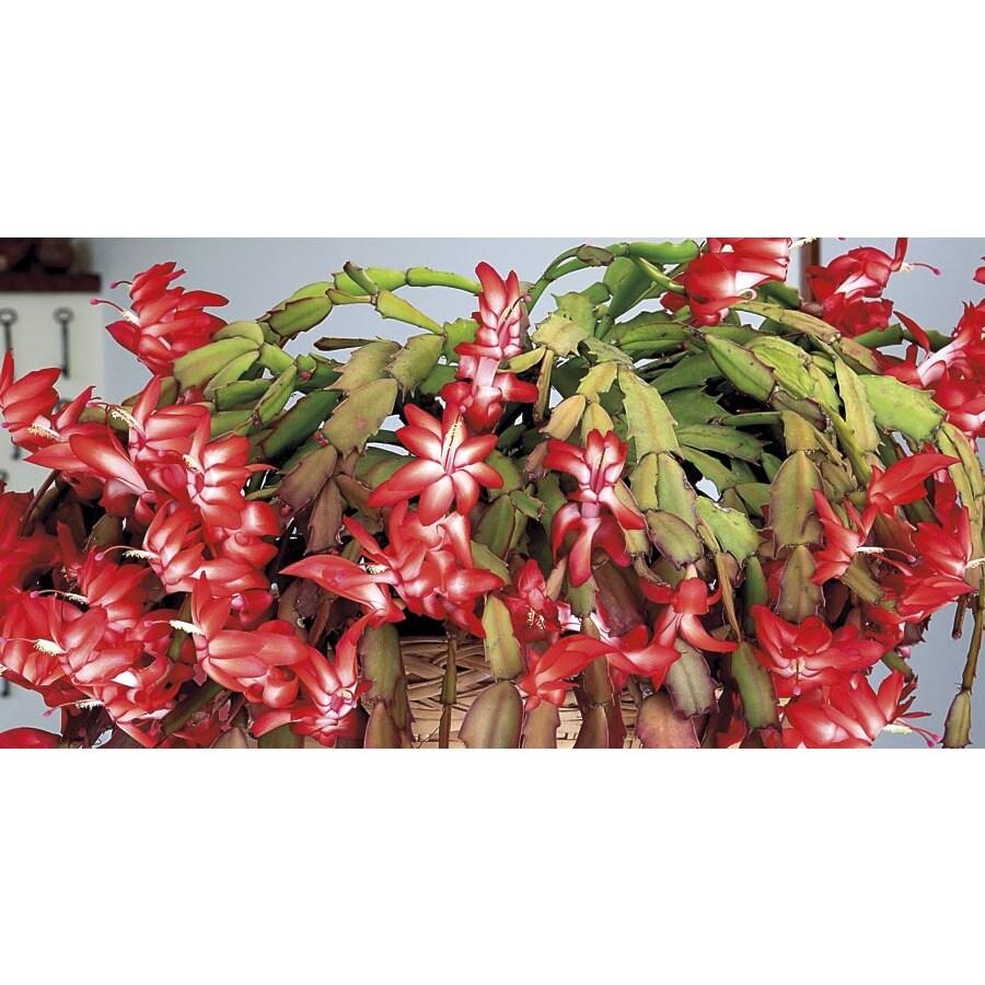 1.5-Quart Christmas Cactus (L21216hp)