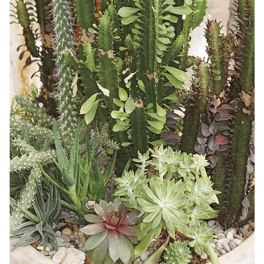 1.75-Quart Cacti and Succulents (Mixed) (LWALTCS)