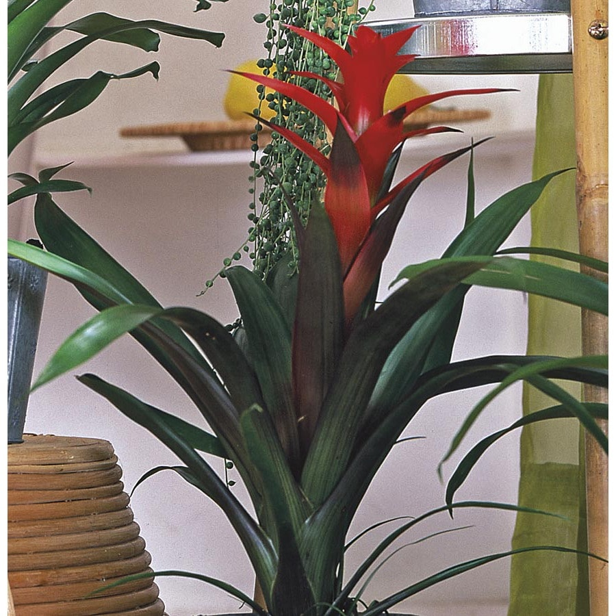 3-Gallon Bromeliads (L20921HP)