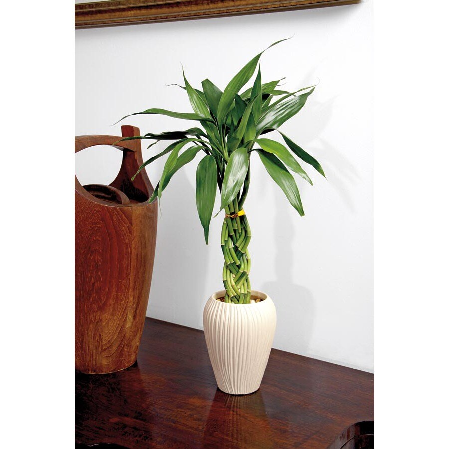 14-Ounce Lucky Bamboo (L20953hp)