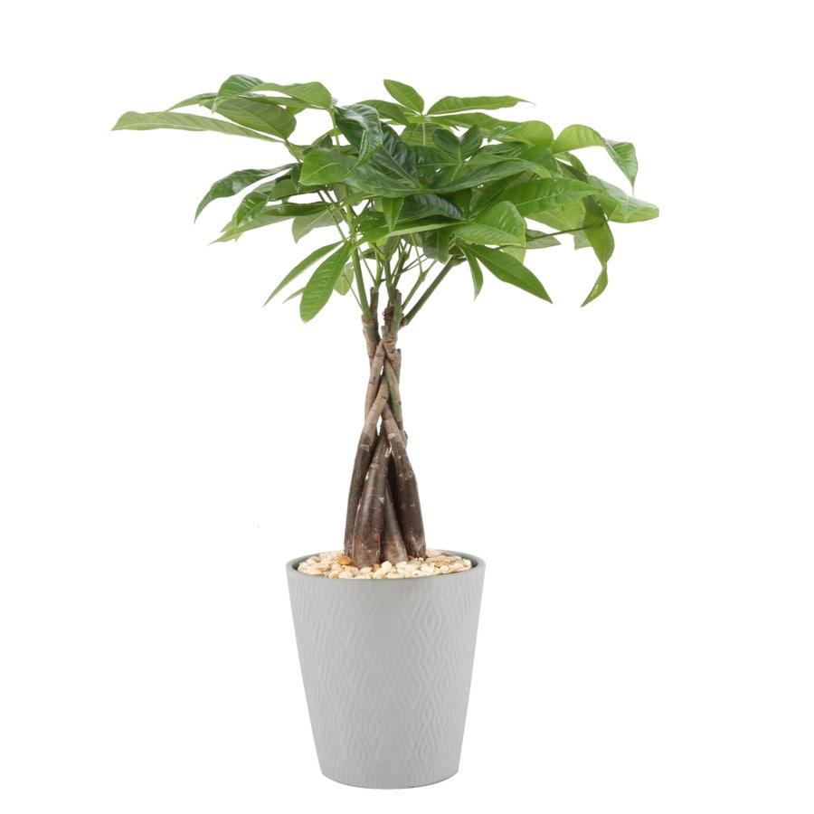 1.25 Pint Pachira Money Tree (L20962HP)