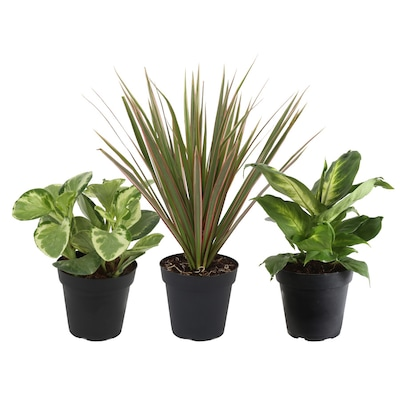 Costa Farms 4 In 3 Pack Air Cleaning Foliage Plant Mix1 In Plastic