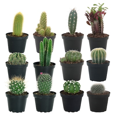 Costa Farms 4 Inch(Es) No Flowers Cactus in Plastic Pot (Cm04)