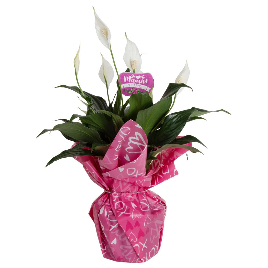 Pink Peace Lily House Plant on pink dieffenbachia plant, pink bird of paradise plant, pink lily of the valley plant, pink wandering jew plant, pink mother of thousands plant, pink dracaena plant, pink stargazer lily plant, pink geranium plant, pink poppy plant, pink elephant ear plant, pink fern plant, pink gardenia plant, pink tiger lily plant, pink tobacco plant, pink pothos plant, pink perfection lily plant, pink jade plant, pink anthurium plant, pink philodendron plant, pink bougainvillea plant,