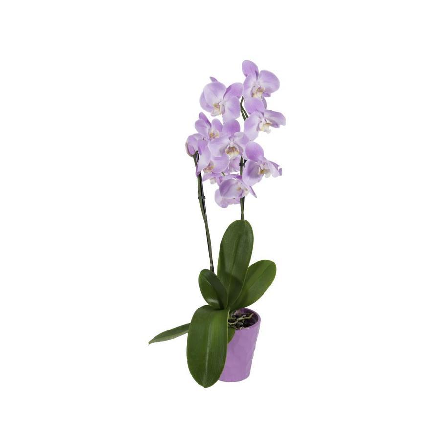 1.68-Pint Orchids (L5743)