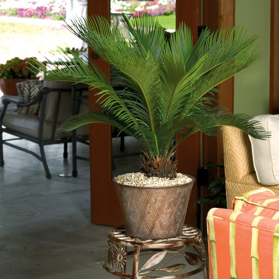 1.25-Pint Sago Palm (L20969HP)