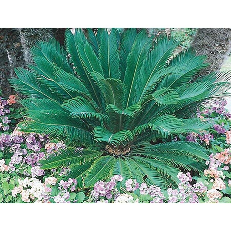 1.5-Gallon Sago Palm (LTL0026)