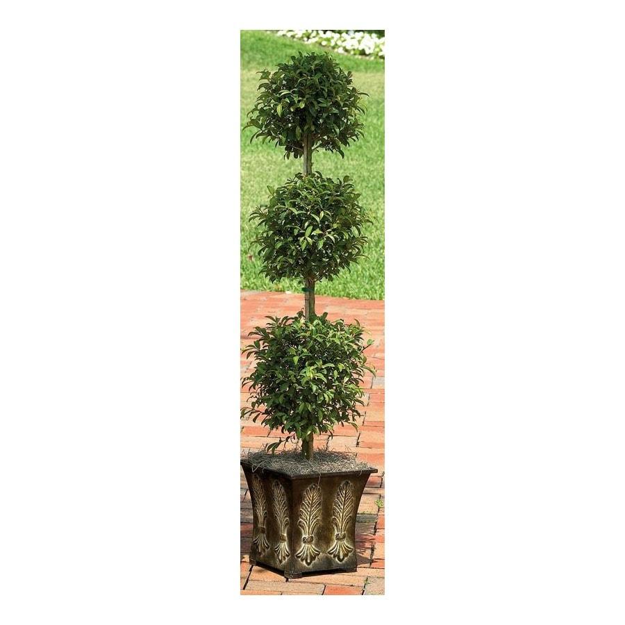 1.75-Gallon Eugenia Topiary (L20938hp)
