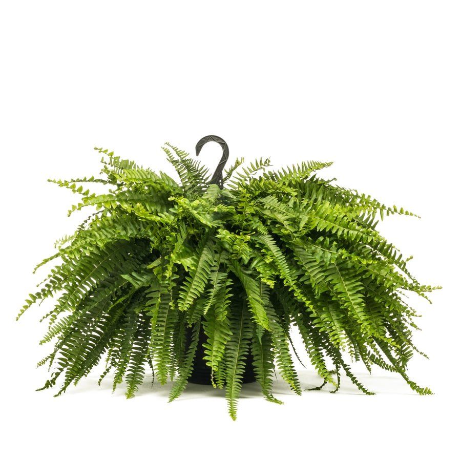 1.5-Gallon Fern