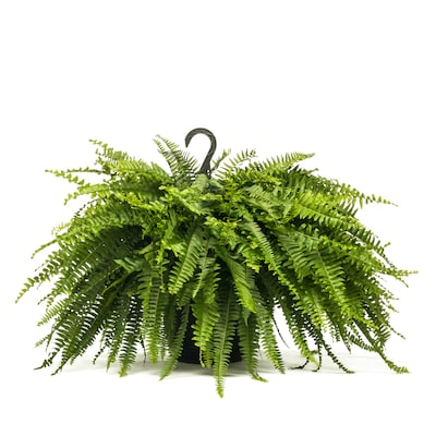 1 5 Gallon In Hanging Basket Boston Fern L6751 At Lowes Com