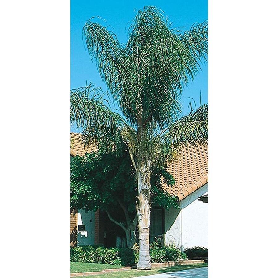 45-Gallon Queen Palm (L6258)