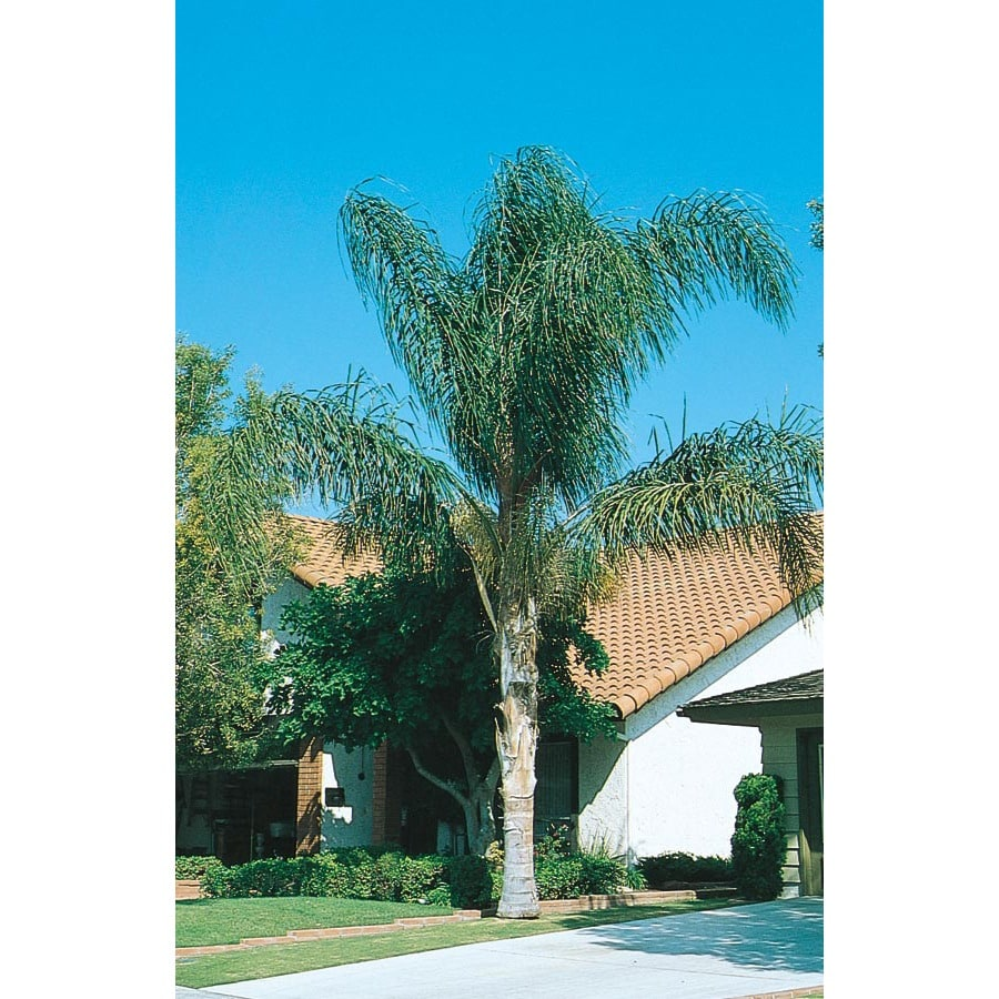 24.5-Gallon Queen Palm (L6258)