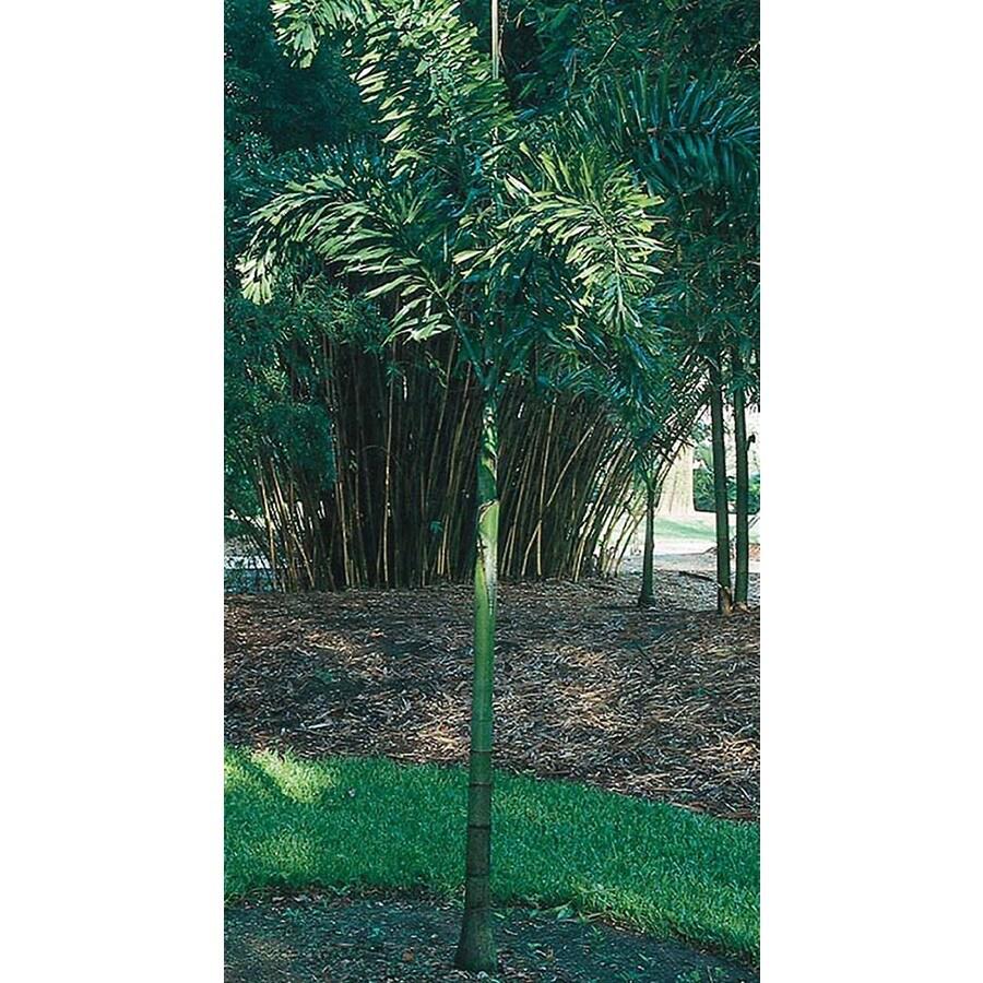 14-ft Foxtail Palm (L14531)