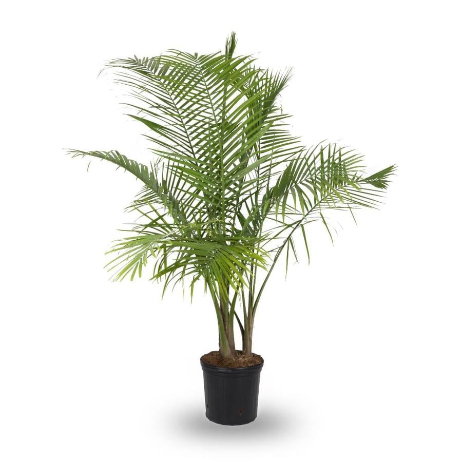 3.75-Gallon Majesty Palm (L20955hp)