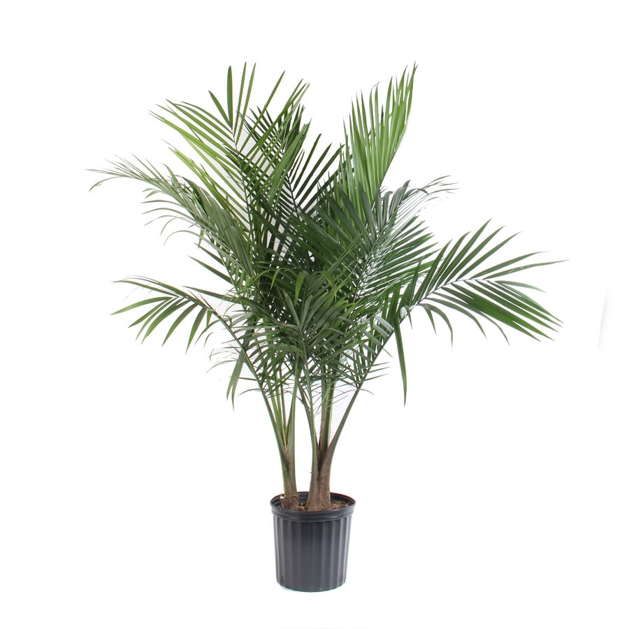 Shop 1 75 Gallon Majesty Palm Ltl0062 At Lowes Com