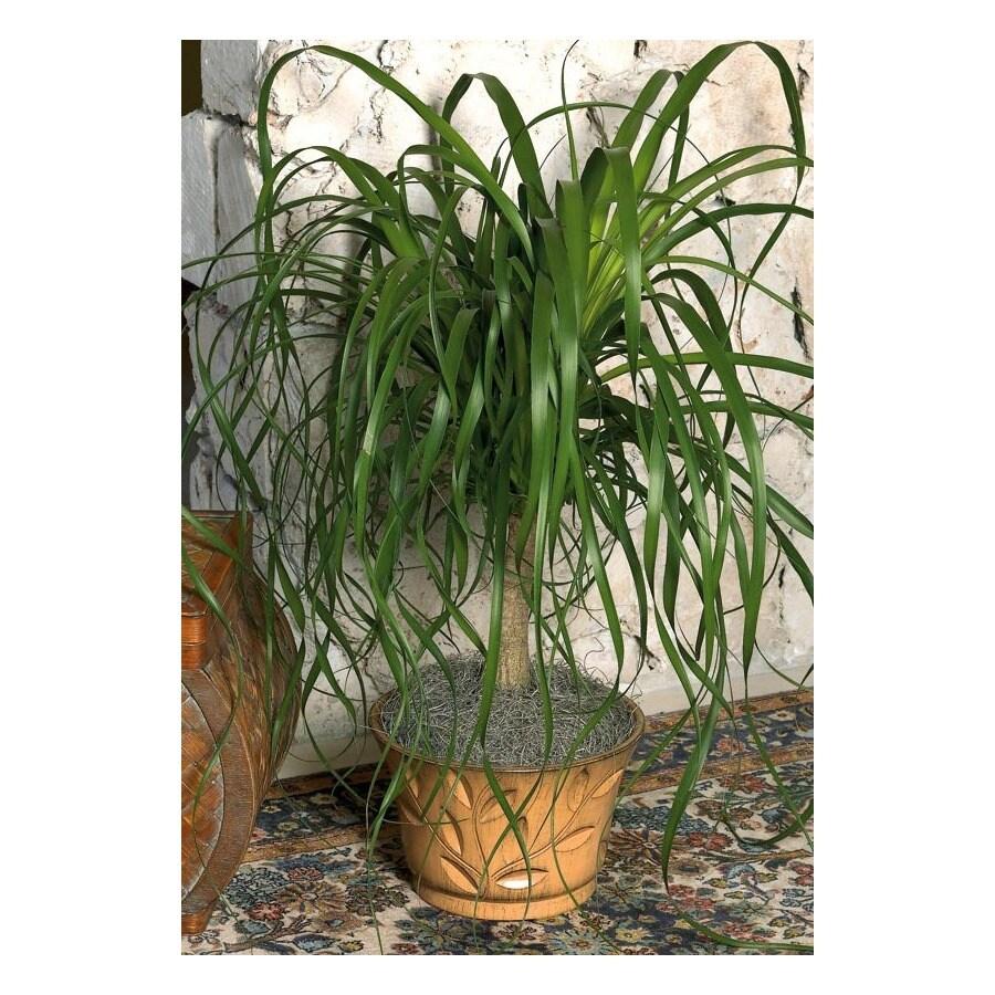 1-Gallon Ponytail Palm (L20967HP)