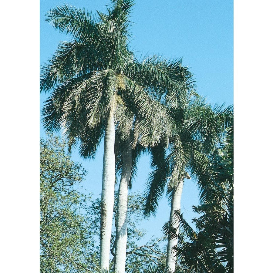 16-ft Florida Royal Palm (L0049)