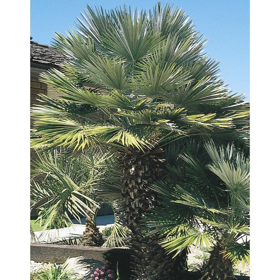 2.3-Gallon European Fan Palm (L9064)