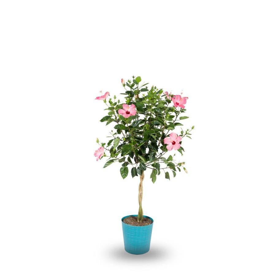 Shop 2-Gallon Multicolor Hibiscus Flowering Shrub (L10437) at Lowes.com