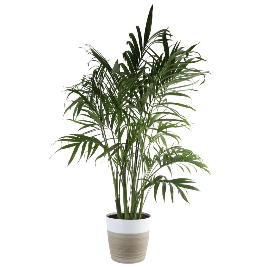 Cat Palm House Plants At Lowes Com