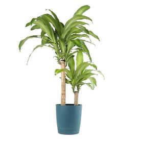 Shop House Plants at Lowes.com on money plant in house, money plant in the garden, money plant in vase,