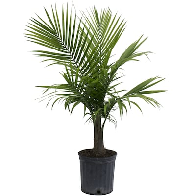 10-in Majesty Palm in Plastic Pot (Mp10) on palm leaf chickee, palm bamboo, palm pattern, palm border, palm vector, palm beetle, palm flowers, palm drawing, palm shrubs, palm bonsai, palm tr, palm seeds, palm christmas, palm shoot, palm trees, palm diagram, palm leaf cut out, palm chamaedorea seifrizii, palm roses, palm rats,