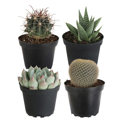 Costa Farms 4 In 4 Pack Cacti And Succulent In Pot As At Lowes Com