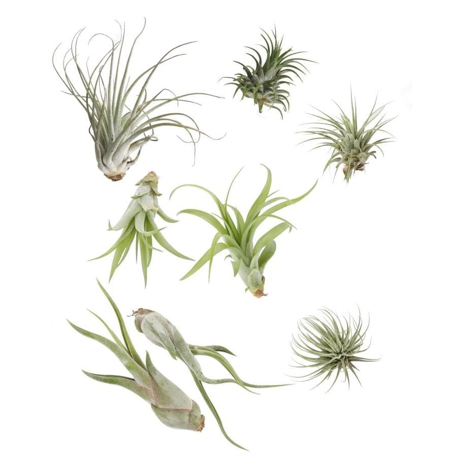 Costa Farms 8 Pack Air Plant Tilcard