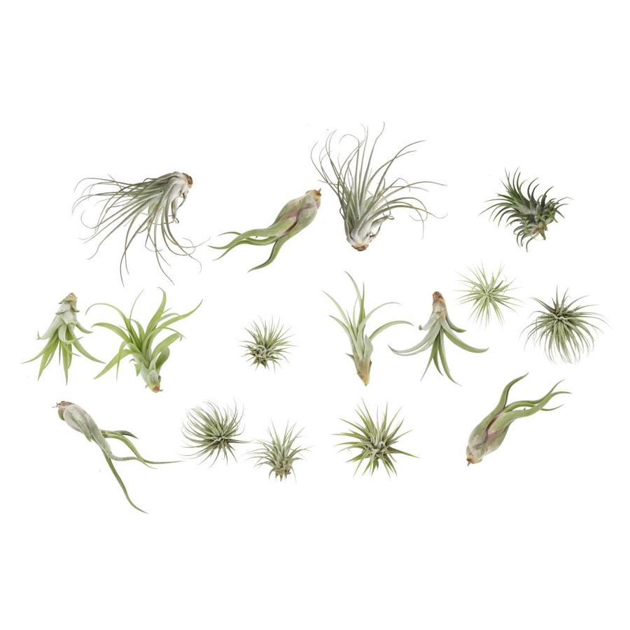 Costa Farms 16 Pack Air Plant Tilcard