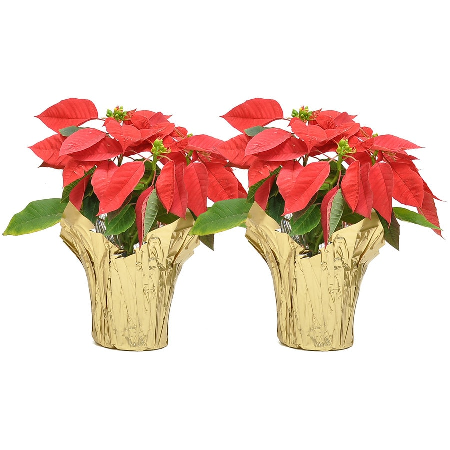 Costa Farms 8 In Fresh Christmas Potted Poinsettia 2 Pack In The Fresh Christmas Decorations Department At Lowes Com