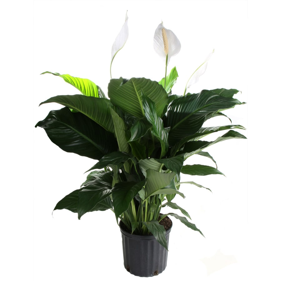 1.9-Gallon Peace Lily Pot (L20977Hp)