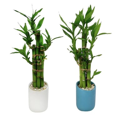 Lucky Bamboo In L20953hp At Lowes Com