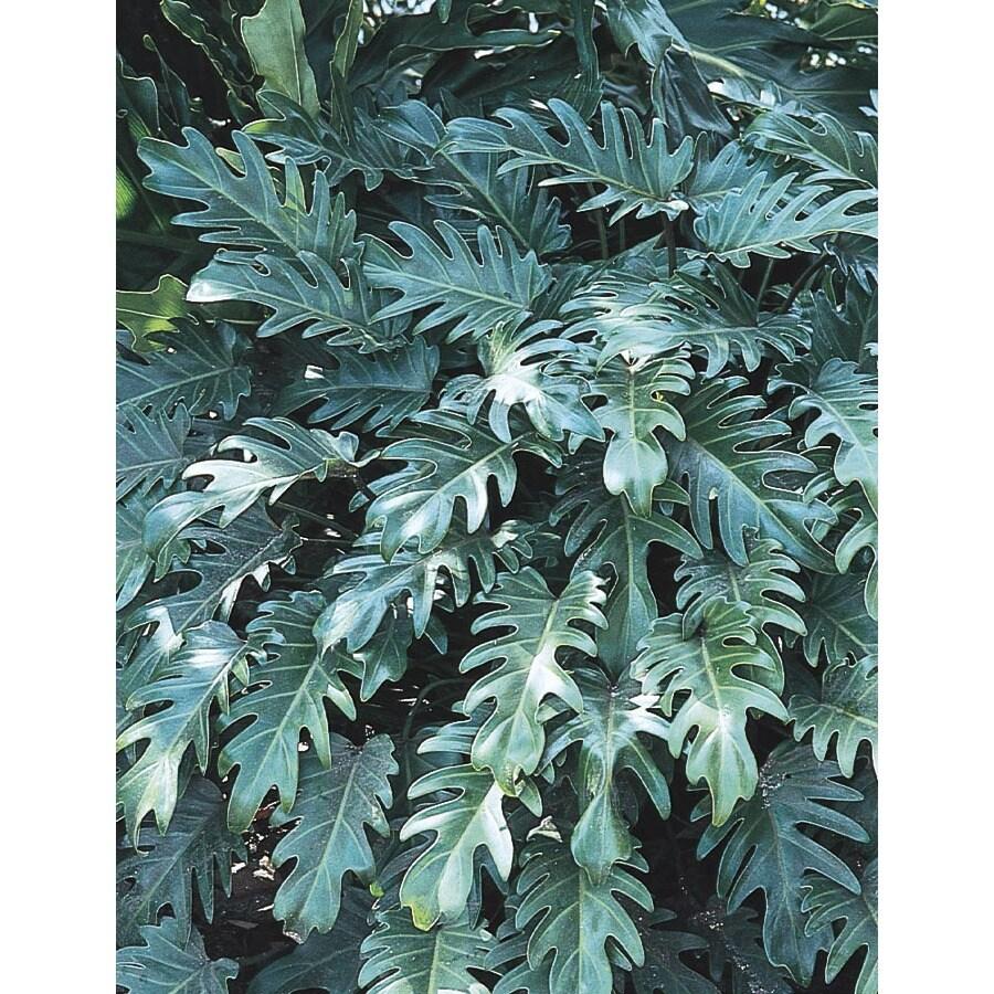 2.5-Quart Xanadu Philodendron (L3335)