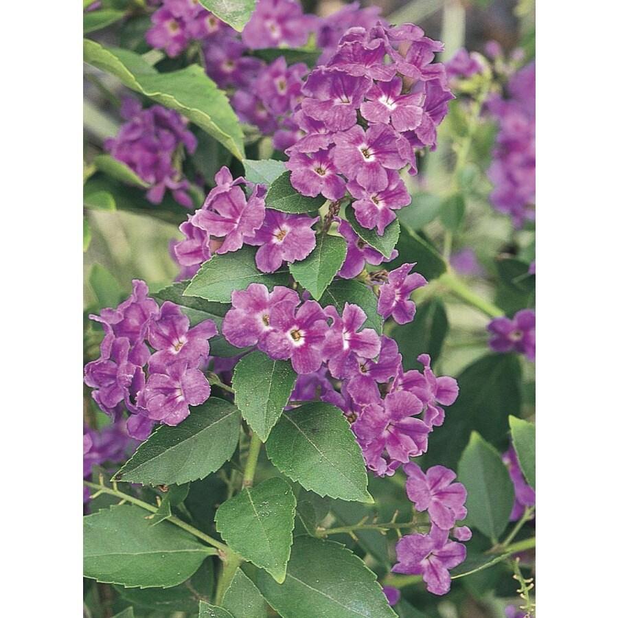 2.5-Quart Lavender Golden Dew Drops Flowering Shrub (L7051)